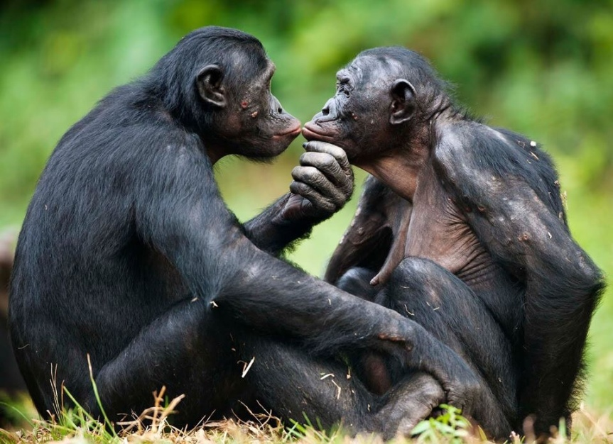 Bonobolar və insanlarda sosialseksuallıq